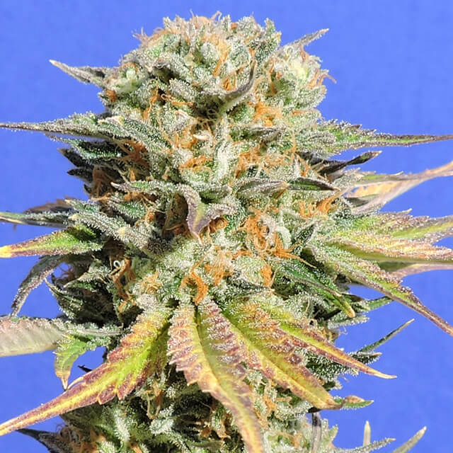 Buy Original Sensible Seeds Bruce Banner #3 FEM