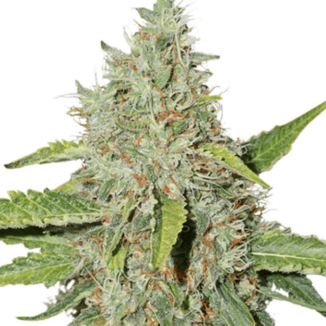 Buy Seed Stockers Seeds Northern Lights FEM