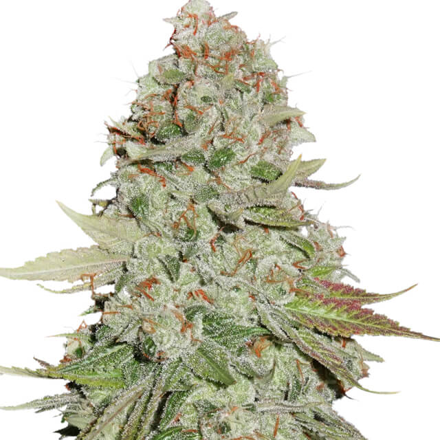 Buy Seed Stockers Seeds Sticky Monkey GG#4 FEM