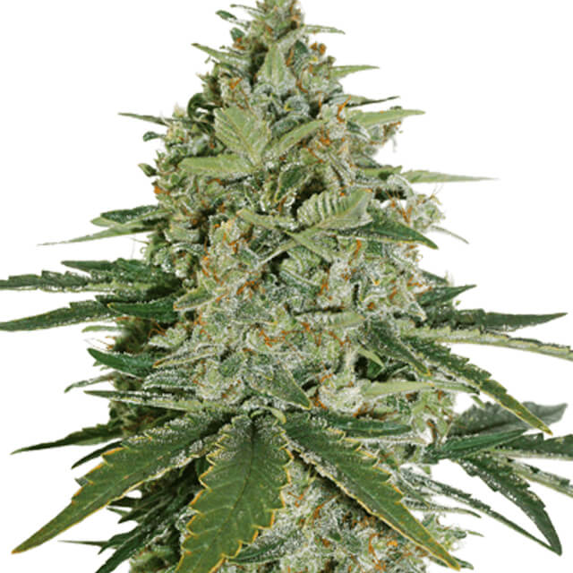 Buy Seed Stockers Seeds Super Skunk FEM