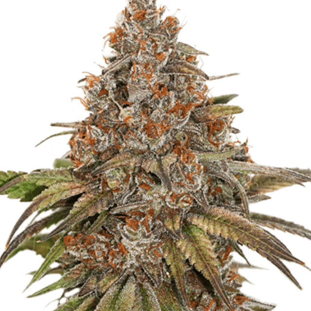 Buy Seed Stockers Seeds Blackberry Gum Auto FEM