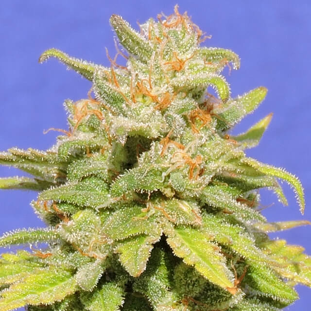 Buy Original Sensible Seeds White Crystal Meth Auto FEM