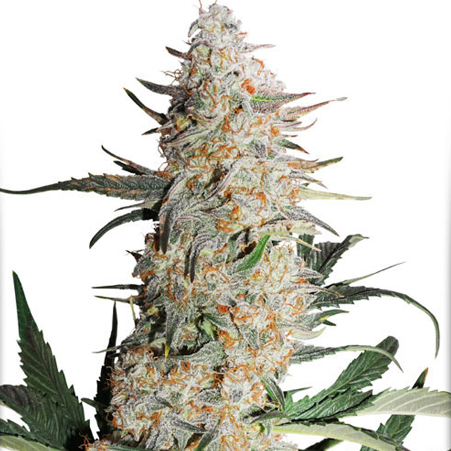 Buy Dutch Passion Seeds Critical Orange Punch FEM