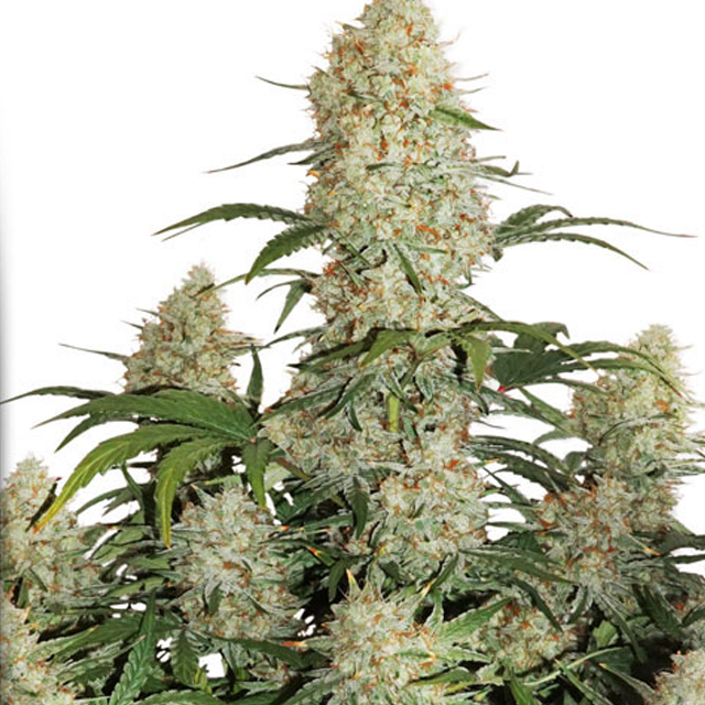 Buy Dutch Passion Seeds Auto Critical Orange Punch FEM