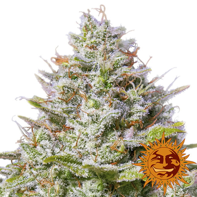 Buy Barneys Farm Seeds Blue Gelato 41 FEM