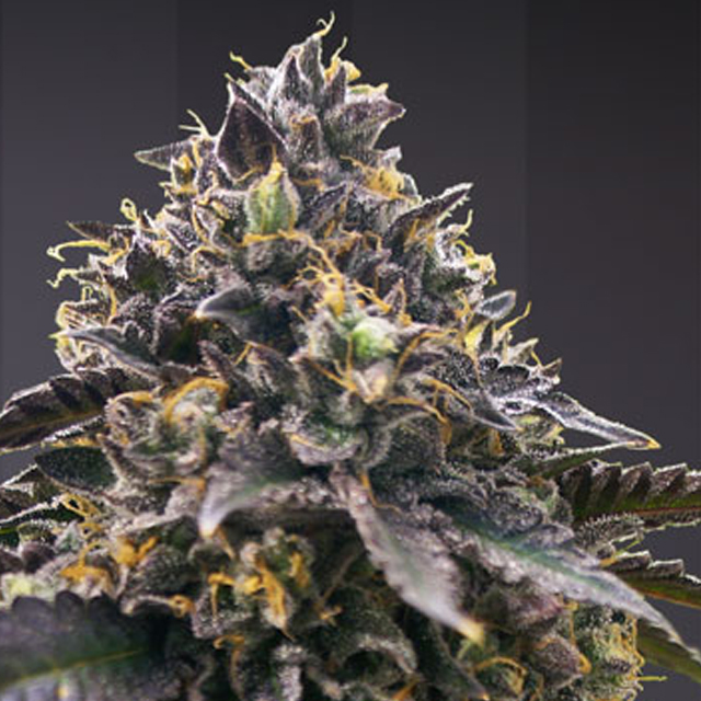 Buy TH Seeds Gelato 33 x French Cookies FEM