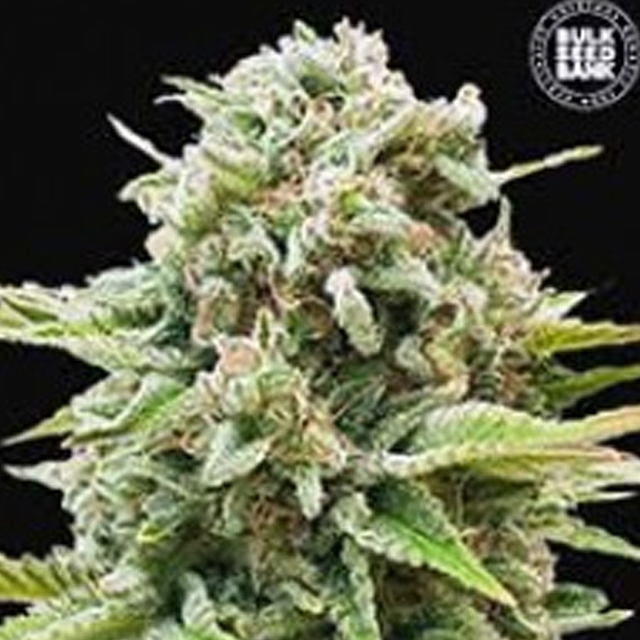 Buy Bulk Seed Bank Auto Guerilla Glue FEM