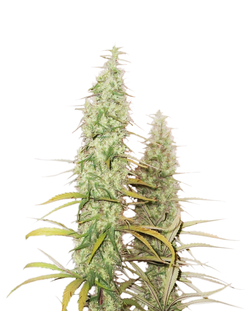 Buy Seed Stockers Seeds Santa Marta Haze FEM
