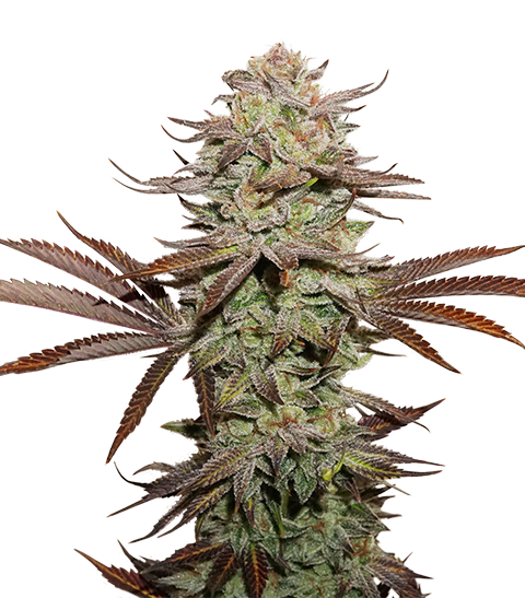 Buy Seed Stockers Seeds Sticky Fingers Auto FEM