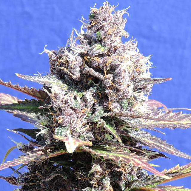 Buy Original Sensible Seeds Gelato FEM