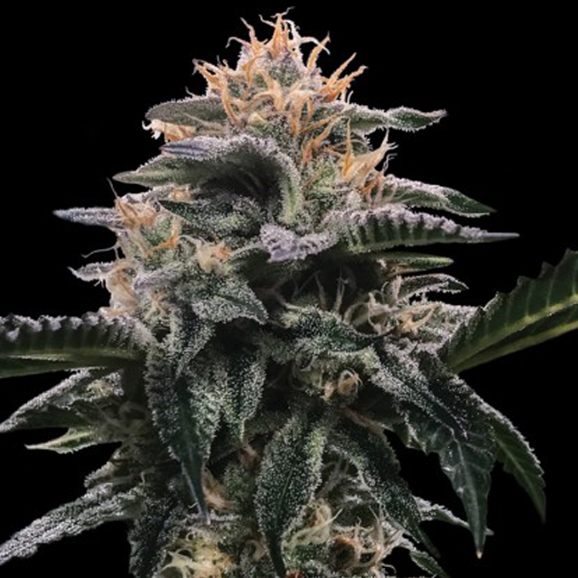 Buy DNA Genetics Seeds Banana Sorbet FEM