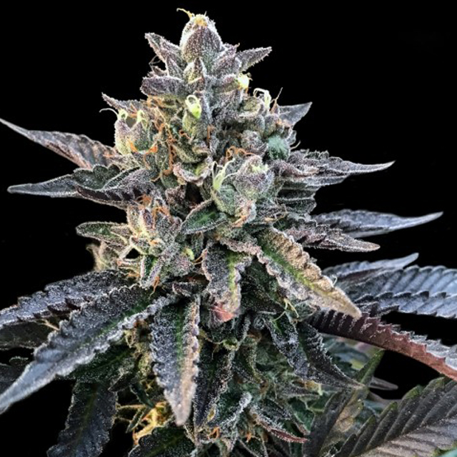 Buy DNA Genetics Seeds Gelato Sorbet FEM