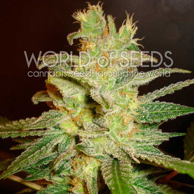 Buy World of Seeds Northern Light x Big Bud Early FEM
