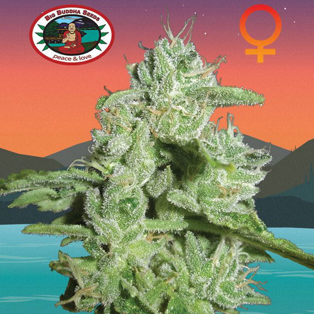Buy The Big Buddha Seeds California Orange Cheese  FEM