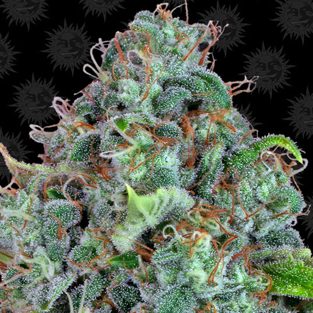 Buy Barneys Farm Seeds Strawberry Lemonade FEM