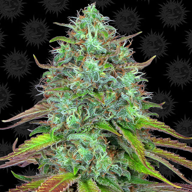 Buy Barneys Farm Seeds LSD Auto FEM