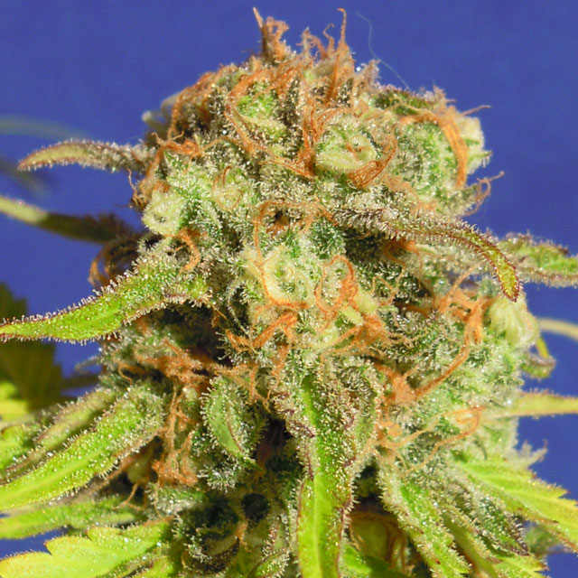 Buy Original Sensible Seeds Bruce Banner #3 Auto FEM