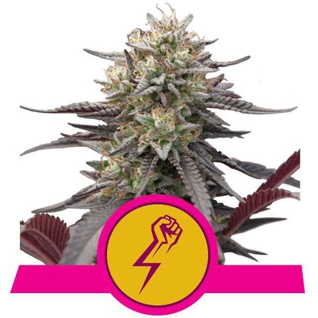 Buy Royal Queen Seeds Green Punch FEM
