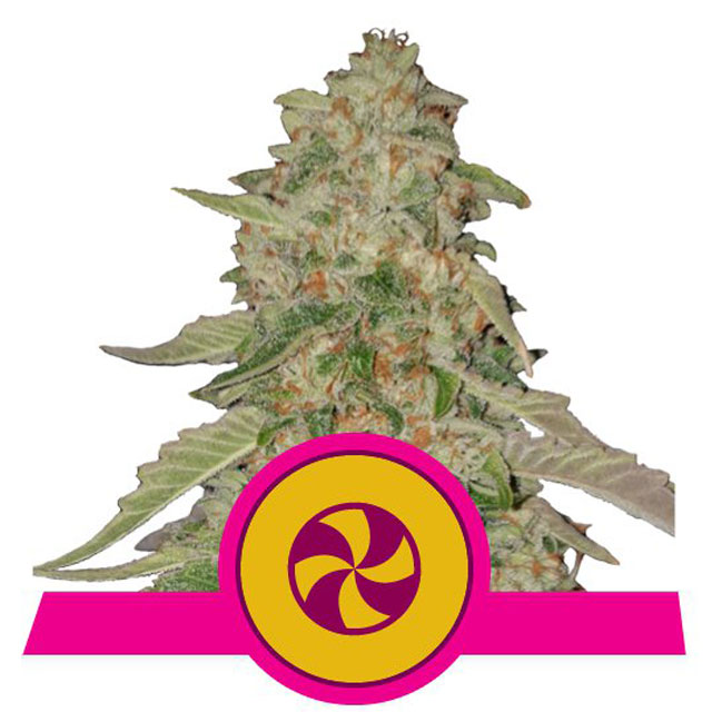 Buy Royal Queen Seeds Sweet Zkittlez FEM