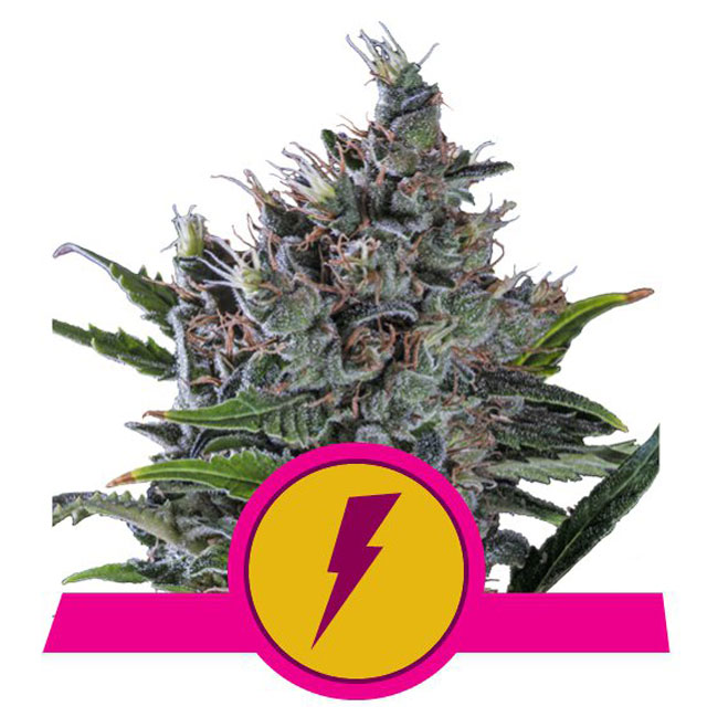 Buy Royal Queen Seeds North Thunderfuck FEM