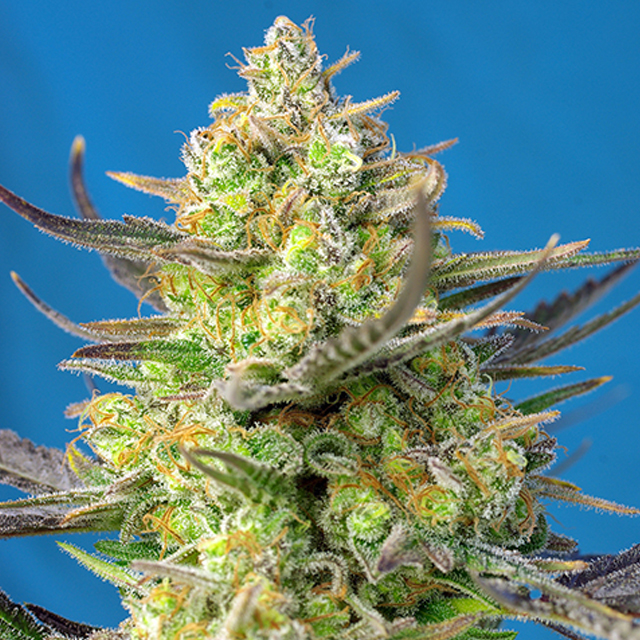 Buy Sweet Seeds Sweet Cheese XL Auto FEM