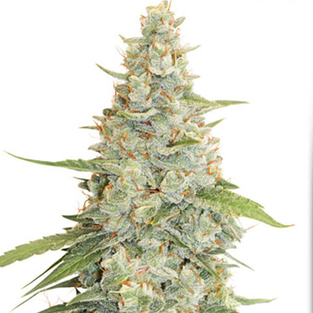 Buy Dutch Passion Seeds Meringue FEM
