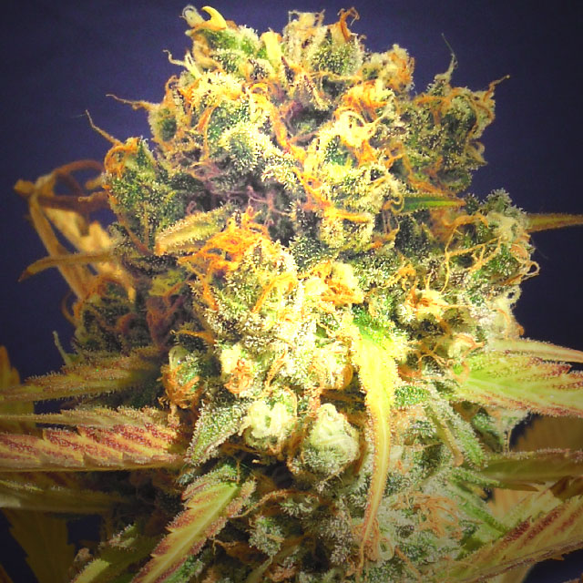 Buy Original Sensible Seeds Dr. Bruce Banner CBD FEM