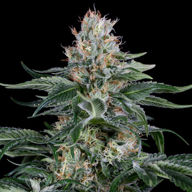 Buy Homegrown Fantaseeds  Orange Juice FEM