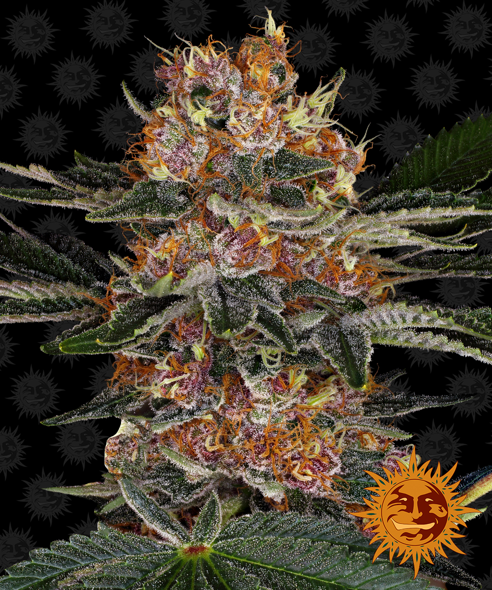 Buy Barneys Farm Seeds Purple Punch Auto FEM