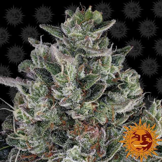 Buy Barneys Farm Seeds Glookies FEM