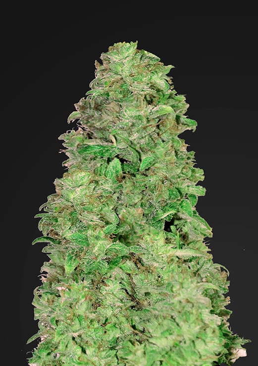 Buy Fast Buds Seeds Auto CBD 20:1 FEM