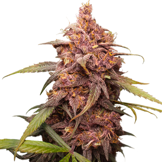 Buy Seed Stockers Seeds Purple Punch FEM