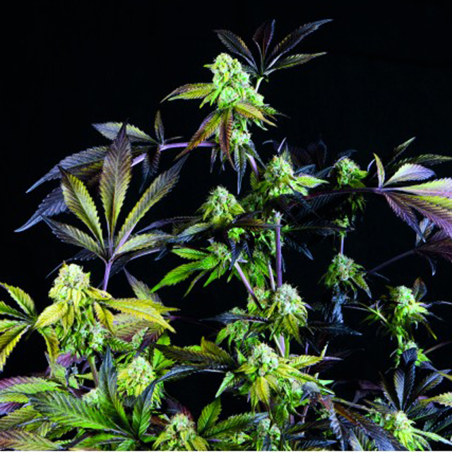 Buy Pyramid Seeds Sunset Sherbet FEM