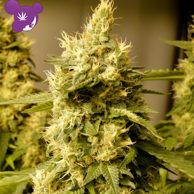 Buy Anesia Seeds Big Bazooka FEM