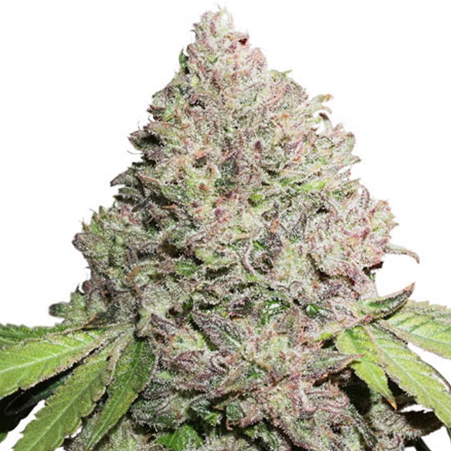 Buy Dutch Passion Seeds Auto CBD Charlottes Angel FEM