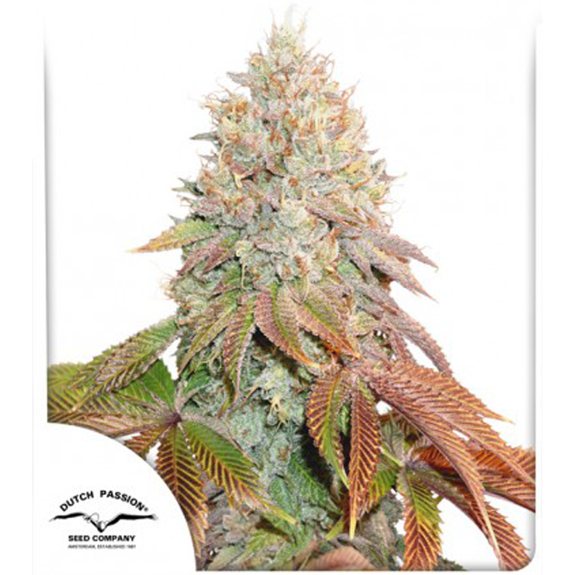 Buy Dutch Passion Seeds Auto Banana Blaze FEM
