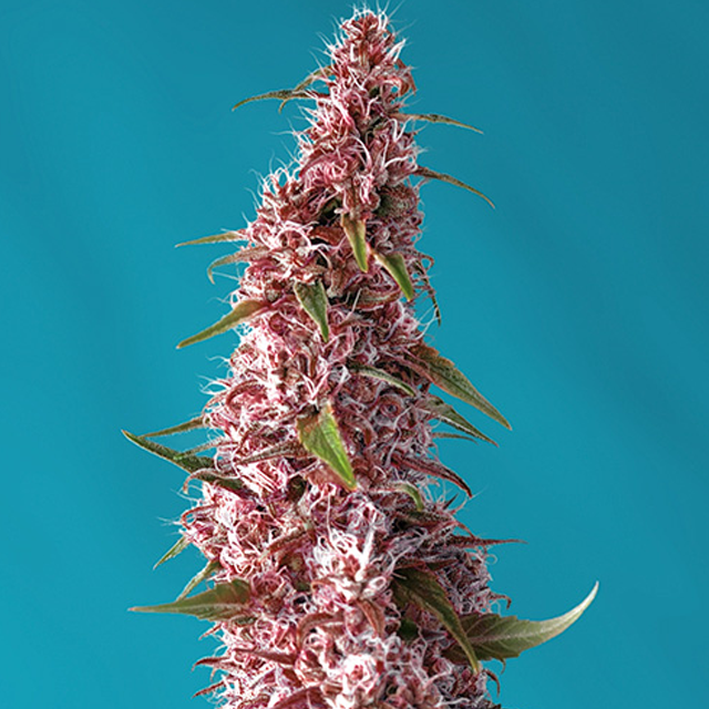 Buy Sweet Seeds Red Pure Auto CBD FEM
