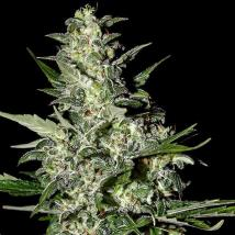 Super Critical Auto Cannabis Seeds