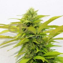 Best Seller - Orange Kush
