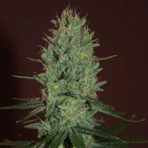 Best Seller - Amnesia Haze