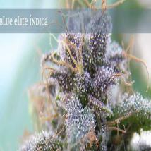 Best Seller - Blue Elite Indica
