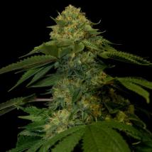 Best Seller - Holy Grail Kush