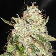White Chronic