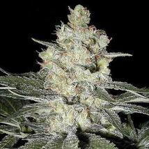 Best Seller - Skunk # 1