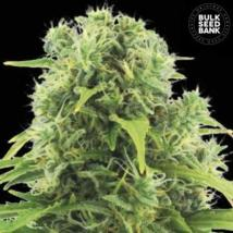 Auto Northern Light Cannabis Seeds