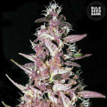 Purple Glam Kush