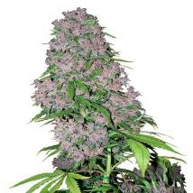 Best Seller - Purple Bud