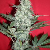 Gods Blue Cheese Seeds Gouda