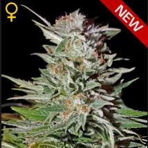 Super Lemon Haze Auto Cannabis Seeds