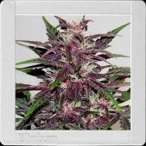 Blimburn Grizzly Purple Auto